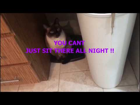 Siamese Cat arguing with owner
