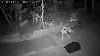 Câmara grava Cão Cachorro falando chamado pedindo a Deus e pelo seu dono, OURO PRETO RONDÔNIA BRASIL