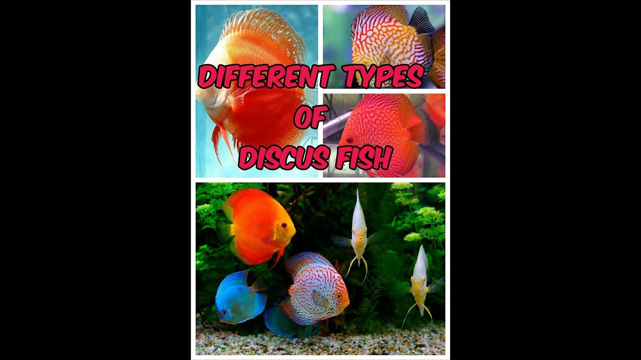 Different types of discus fish youtube for Discus fish types