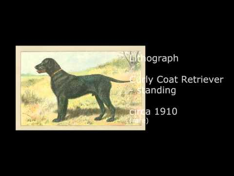 Curly Coated Retriever Art, Antique Prints of Curly Coated Retrievers