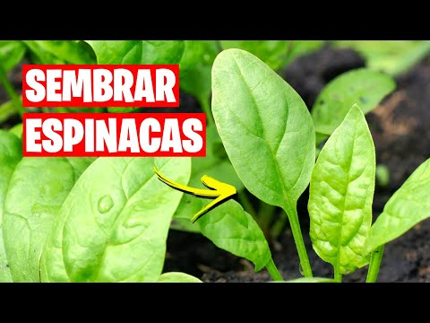 Como sembrar espinacas huerto urbano youtube for Espinacas como cocinarlas