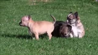 Chihuahua Puppies 25th September 2016