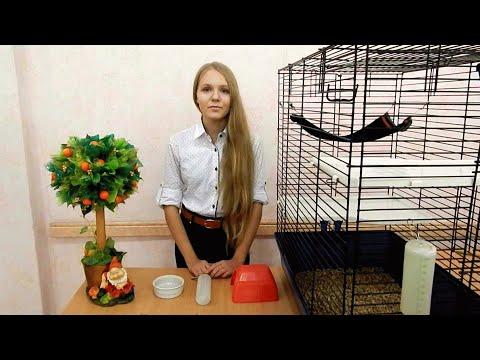 Декоративные крысы - уход и содержание