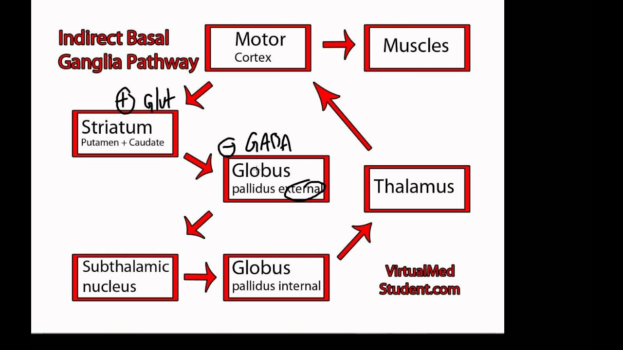 Pathway Pictures Basal Ganglia Indirect Pathway Youtube