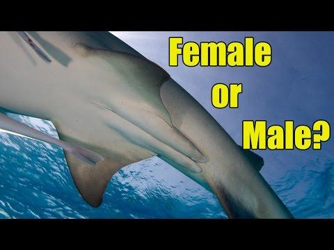 Male Versus Female Sharks Shark Academy Youtube