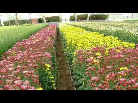 El exitoso cultivo de la gladiola flor que cuenta con - Como cultivar crisantemos ...