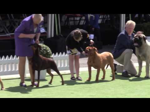 Utility (group 6) - General Specials Day - Royal Melbourne Show All Breeds Championship Dog Show