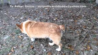 Gertie The Welsh Corgi - Rescued And Is Available Available In The Pensacola, Fl Area