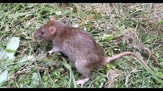 ДИКИЕ КРЫСЫ В ОГОРОДЕ/Поймали крысу/ДИКИЙ ПАСЮК ПАСЮКИ/Как поймать крота крысу/КРЫСЫ ВИДЕО