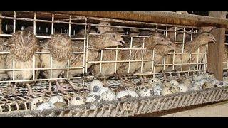 Single Terbaru -  Video Budidaya Burung Puyuh Petelur
