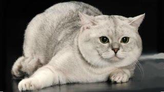 Скоттиш страйт, Шотландская прямоухая кошка, Породы Кошек