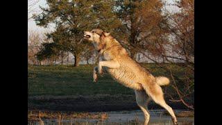 Волк бегал на двух ногах. Рыбалка на лесном озере.