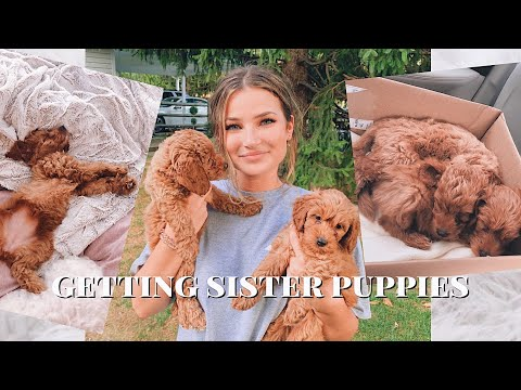 getting 2 mini golden doodle puppies