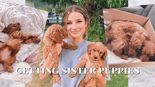 Download getting 2 mini golden doodle puppies Mp3 and Videos
