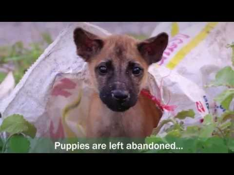 How Volunteering with Puppies in Thailand will Impact the Community