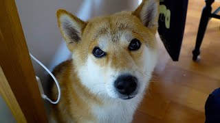 柴犬タロウと家族の日記。 タロウの定位置。 Home Position of Shiba Inu #Shibe #柴犬.