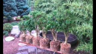 Creating a Boxwood Forest