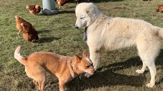 What Happens?! Putting A Cattle Dog In With A Working Maremma? (A Whole Lot of Fun!)