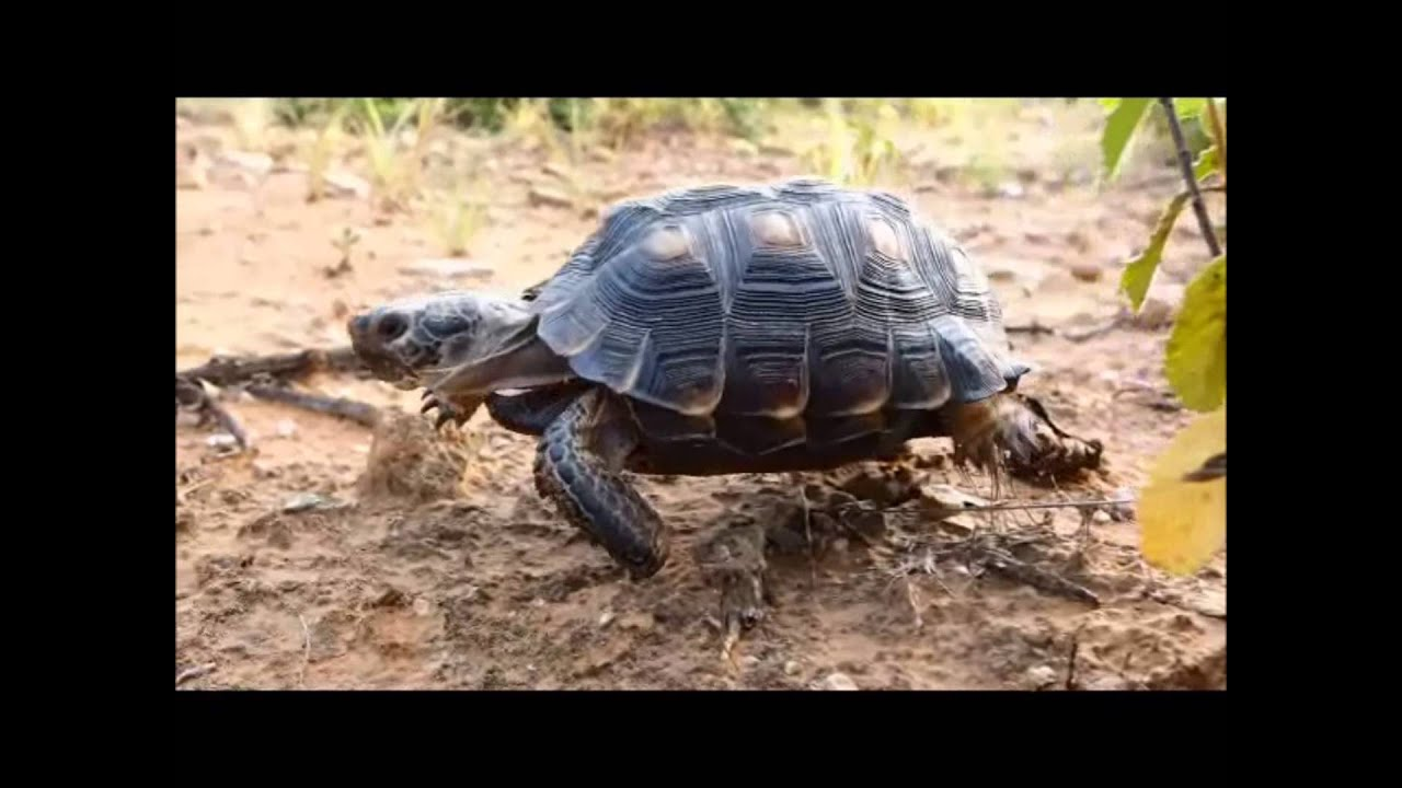 how to find a desert tortoise