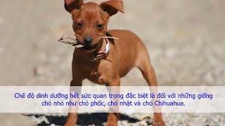 Chế độ dinh dưỡng và khẩu phần ăn cнo chó Phốc