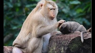 Poor baby Lori so sad old thin Mother not care got grooming by Ashley| Lori cry for mom hungry milk.