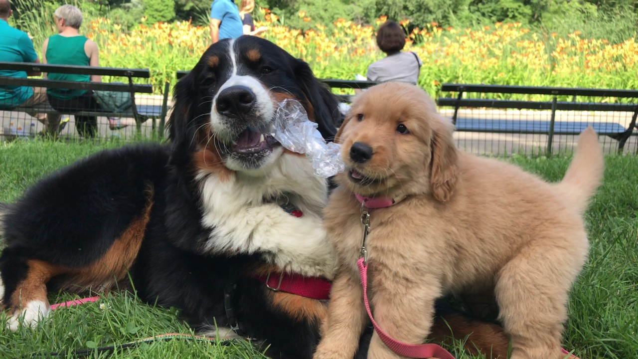 Bernese Mountain Dog And Golden Retriever Puppy Play With Water Bottle