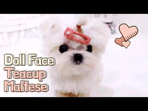 Micro teacup maltese puppy - Teacup puppies KimsKennelUS