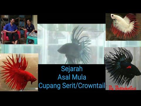 Asal Mula Ikan Cupang Hias Serit / Crowntail Wawancara Bersama Ahmad Yusuf Sang Perintis