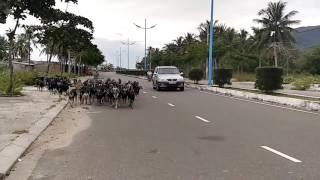 Вьетнамские животные. Козы что лазят по деревьям