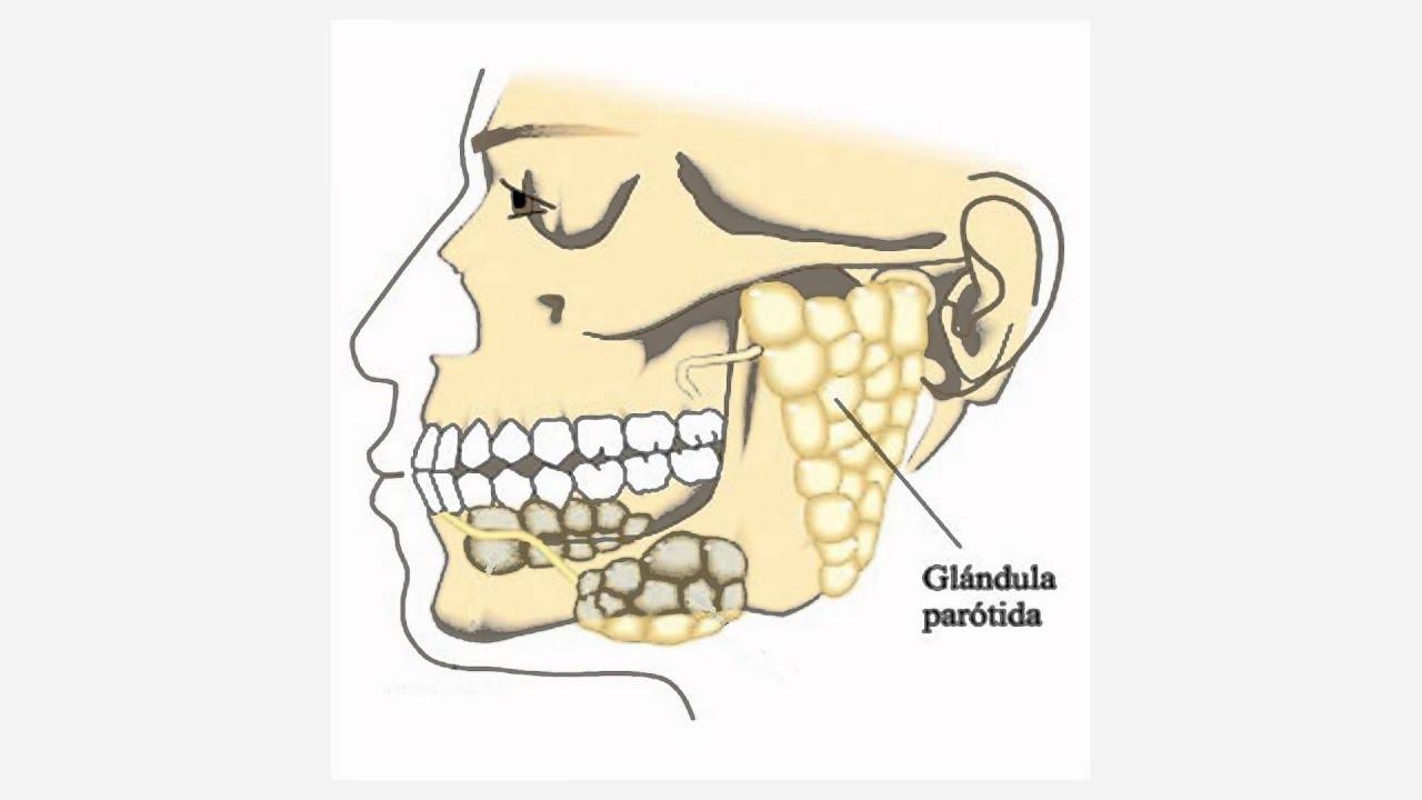 glandulas salivales - YouTube