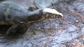 Slinky the Water Monitor Lizard update and Cameraman Freakout! Kamp Kenan Bonus