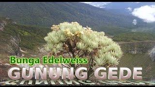 Download Video Bunga Edelweis Gunung Gede Yang Mempesona MP3 3GP MP4