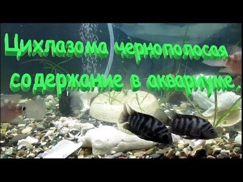 Цихлазома чернополосая. Содержание в аквариуме и совместимость.