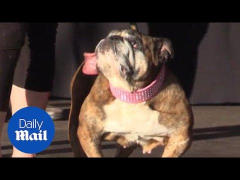Zsa Zsa the English bulldog is named the World's Ugliest Dog - Daily Mail