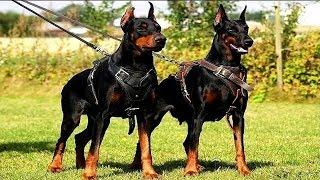 10 Razas De Perros Guardianes Más Letales Del Mundo