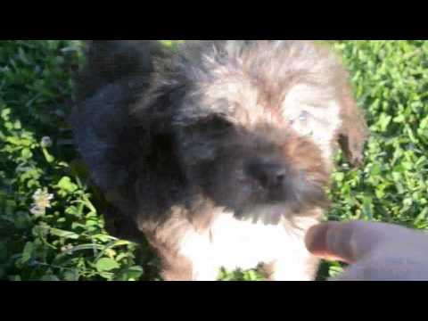 PuppyFinder.com : GUCCI, the Chocolate, Tan, and White Havanese Male
