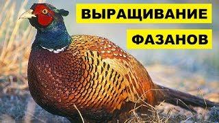 Выращивание фазанов на мясо и для охоты как бизнес идея