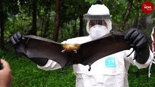 Experts collect bat samples in Kerala to find source of Nipah virus