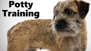 How To Potty Train A Border Terrier Puppy - Border Terrier Training Tips - Border Terrier Puppies