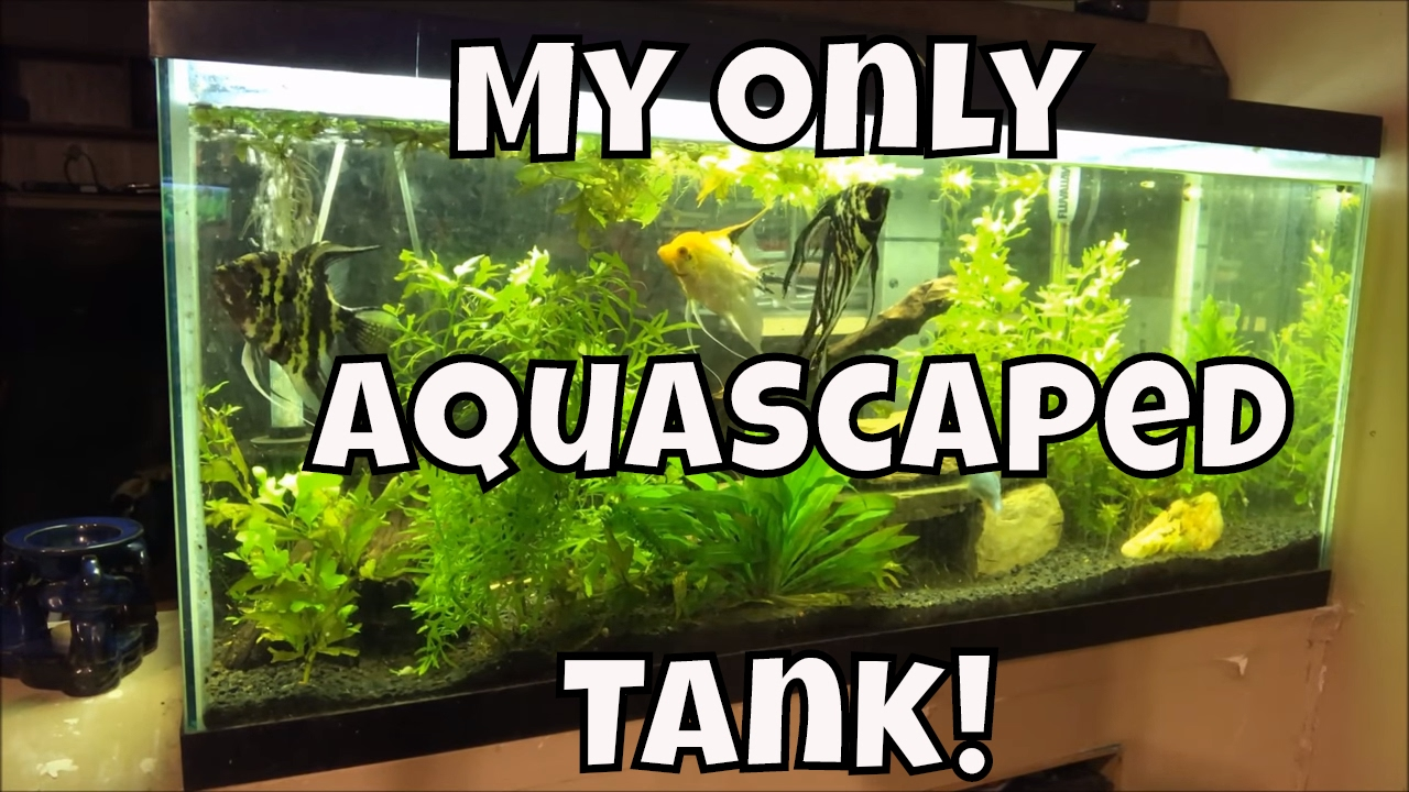 My Only Aquascaped Tank Marble Veil Tail Angelfish