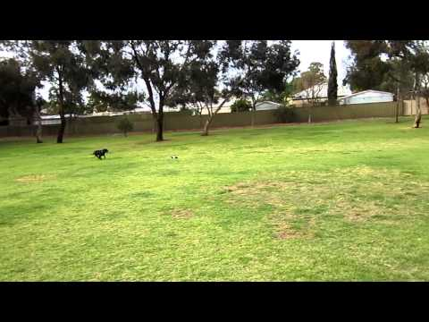 Dudley The Staffy chases an RC buggy