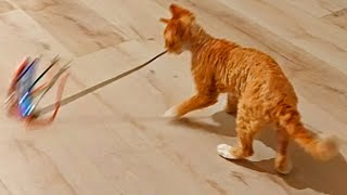 Kitten pushes his toy front of himself ( Coco the devon rex cat )