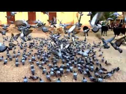 Pigeon Song