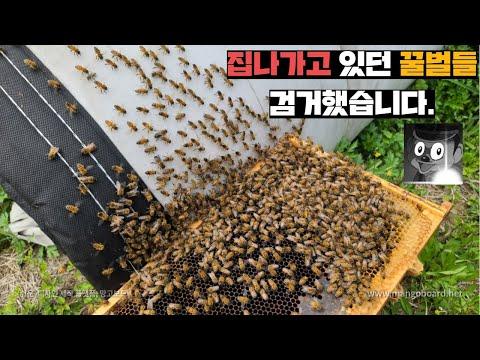 집나가고 있던 꿀벌들을 잡았습니다. 그런데 여왕벌을..