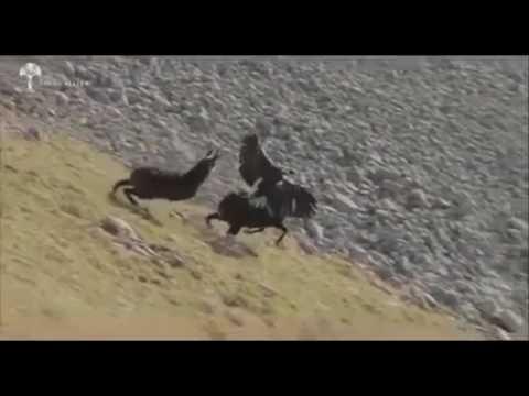 Eagle Vs Goat