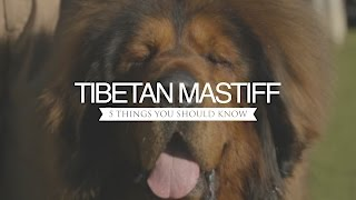 TIBETAN MASTIFF FIVE THINGS YOU SHOULD KNOW