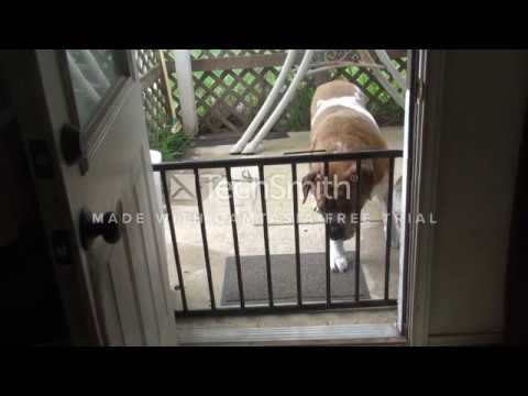 St Bernard / Rottweiller breaking INTO house! Escapes backyard thru steel bars...