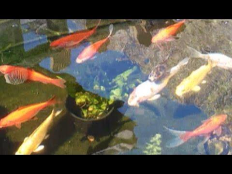Peces felices en el estanque koi goldfish y shubunkin for Criadero de peces goldfish