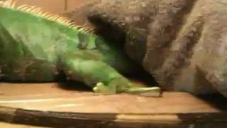 Stunned (Frozen) wild iguana rescued from a brutal cold front