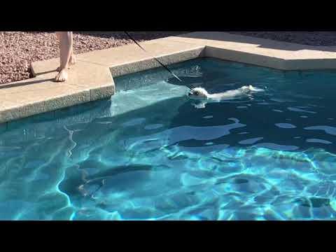 """Mesa dog training """"K9katelynn"""" teaches Leo(multese) how to swim w/o Client getting wet! K9katelynn"""